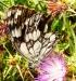 Farfalla 18