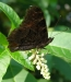 Farfalla 22