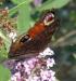 Farfalla 23