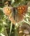 Farfalla 26