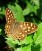 Farfalla 30