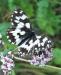 Farfalla 31
